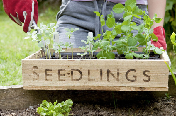 Wooden box with seedlings